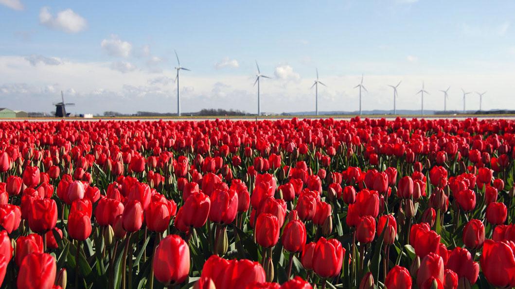 Achter de tulpen ons 'Windpark Burgervlotbrug'