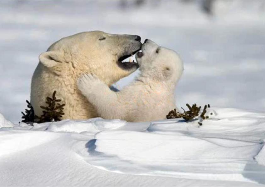 Overleeft de ijsbeer in een steeds warmere wereld?